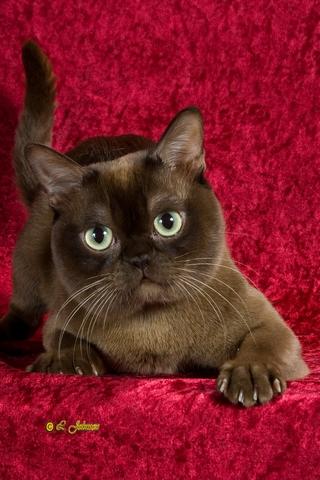 Бурманская - Американская и Европейская. Две породы - два стандарта. 202941Catizen%20Made%20From%20Sugar%20of%20Acrocats