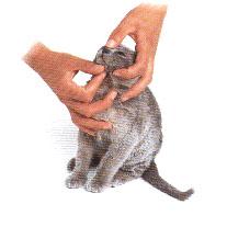 Фелинологическая азбука - Вы решили завести кошку 2 ...: http://www.freya-way.ru/page.php?id=34